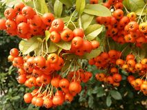 Orange berries. Outdoor Royalty Free Stock Images
