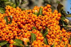 The orange berries of Pyracantha Royalty Free Stock Images