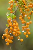Orange berries with rain drops Stock Photography