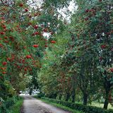 Orange berries tree road alley alleyways. Sorb or rowans alleyways Stock Photos