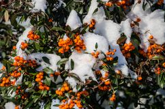 Orange berries under white snow and green leaves royalty free stock photo