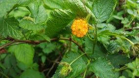 Orange berries in the wild Stock Photography