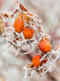 Orange berries of wild rose with hoarfrost Royalty Free Stock Photography