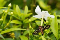Orange beschmutzter Tiger Moth Stockbild