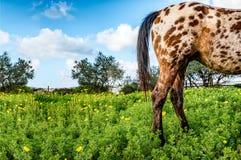 Orange beschmutztes Pferd in blühender Wiese Stockfoto