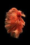Orange betta fish Stock Photography