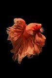 Orange bettafisk Royaltyfri Foto