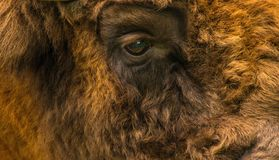 European Bison. The orange big Buffalo close-up Royalty Free Stock Photography