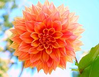 Orange big flower blossom. Flower nature blossom Stock Photo