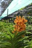 Orange bild för orkidéblommalantgård Arkivbilder