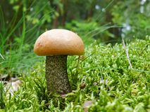 Orange Birch Bolete Stock Image