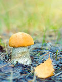 Orange Birch Bolete Stock Photos