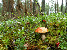 Orange Birch Bolete. In the forest Royalty Free Stock Photography