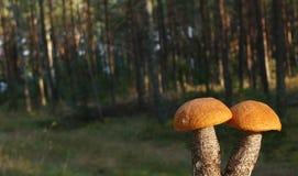 Two orange Birch Bolete. Two small orange Birch Bolete mushrooms in the forrest stock photography