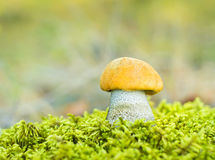Orange Birch Bolete (Leccinum versipelle) Stock Photos