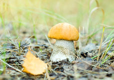 Mushroom in forest Royalty Free Stock Image