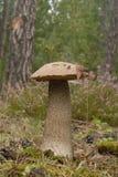Orange Birch Bolete mushroom (Leccinum versipelle) Royalty Free Stock Photography
