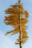 Orange birch tree Royalty Free Stock Photos