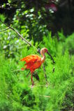 Orange bird (crane species) nesting Royalty Free Stock Photos
