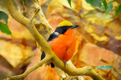 Orange Bird. A little Bird on a tree branch Royalty Free Stock Images