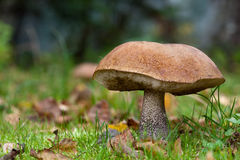 Orange Birke Bolete Stockfotografie