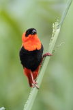 Orange Bishop Royalty Free Stock Photo