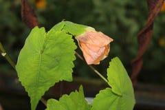 Orange blühende Ahorn-Blume mit großen grünen Blättern Stockfotografie