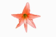 Orange blüht Hippeastrum oder Amaryllis im Naturhausgartenba Lizenzfreies Stockbild