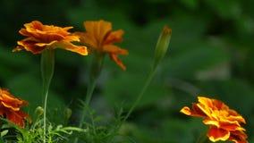 Orange blüht Ringelblumen stock footage