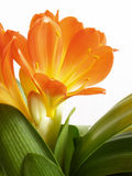 Orange Blüte Lizenzfreies Stockbild