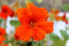 Orange Blüte Stockfotos