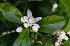 Orange Blüte auf einem Baum im Frühjahr Sie können eine kleine orange Frucht innerhalb einer Blume sehen lizenzfreie stockfotografie