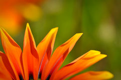 Orange and Black African Daisy Stock Image