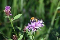 ORANGE BLACK BEE LAYS ON FLOWER stock image