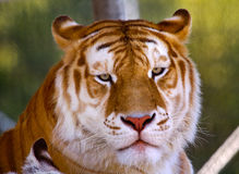 Orange Black  Bengal Tiger Looking Royalty Free Stock Photography