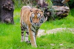 Orange and Black Bengal Tiger Walking on Green Grass Field during Daytime Royalty Free Stock Photos