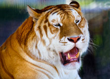 Orange Black Bengal Tiger Yawning Teeth Stock Photo