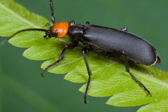 An orange and black blister beetle Royalty Free Stock Photography