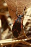 Orange and black bug Stock Photo