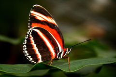Orange and black butterfly. Beautiful orange and black butterfly sitting on leaf Stock Images