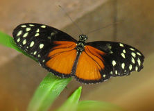 Orange & Black Butterfly. Unknown species of yellow, orange and white butterfly royalty free stock photography