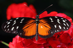 Orange black butterfly close up. Beautiful orange black butterfly on a red flower close up Royalty Free Stock Photos