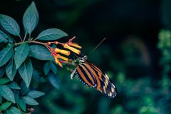 Orange and Black butterfly eating from tropical flower. Full winged Black, orange and yellow Butterfly resting from a delicate on orange tropical flower royalty free stock photos
