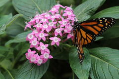 Orange and Black Butterfly. A butterfly feeding from a cluster of pink flowers Stock Image
