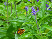 Orange and black butterfly on the green leaf of Lavender plant. Orange and black butterfly on the bright, green leaf of Lavender plant royalty free stock image