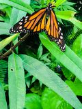 Orange and black butterfly. On a green plant royalty free stock photos