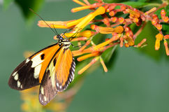 Orange and Black Butterfly. Hanging from a yellow flower Stock Photos