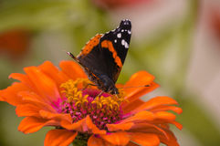 Orange and Black Butterfly. A lovely orange and black butterfly eating from a colorful flower Stock Photo
