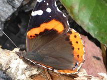 Butterfly with Orange and black colors Stock Images