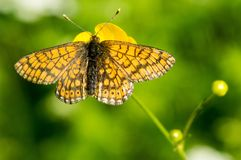 Orange and black butterfly in nature. Orange and black butterfly/moth on a yellow flower stock photo